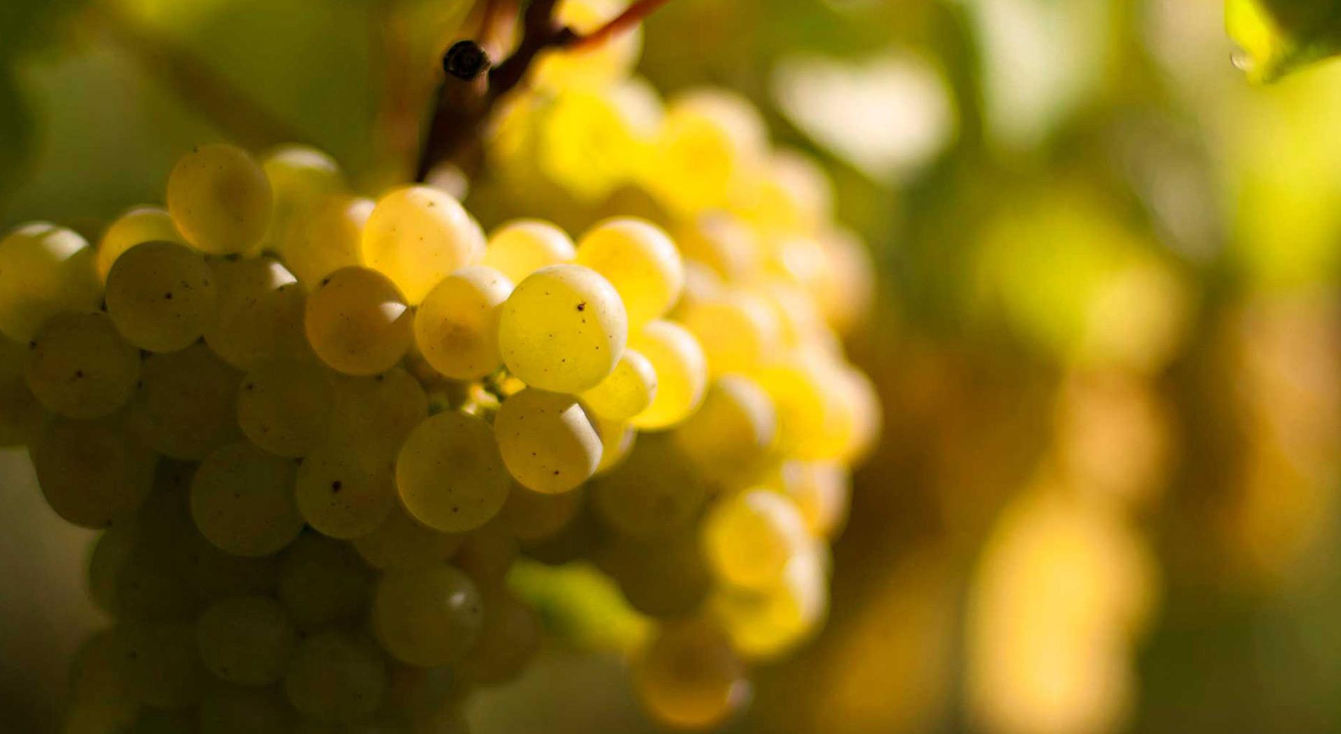 cadoles-chardonnay-raisins-s3