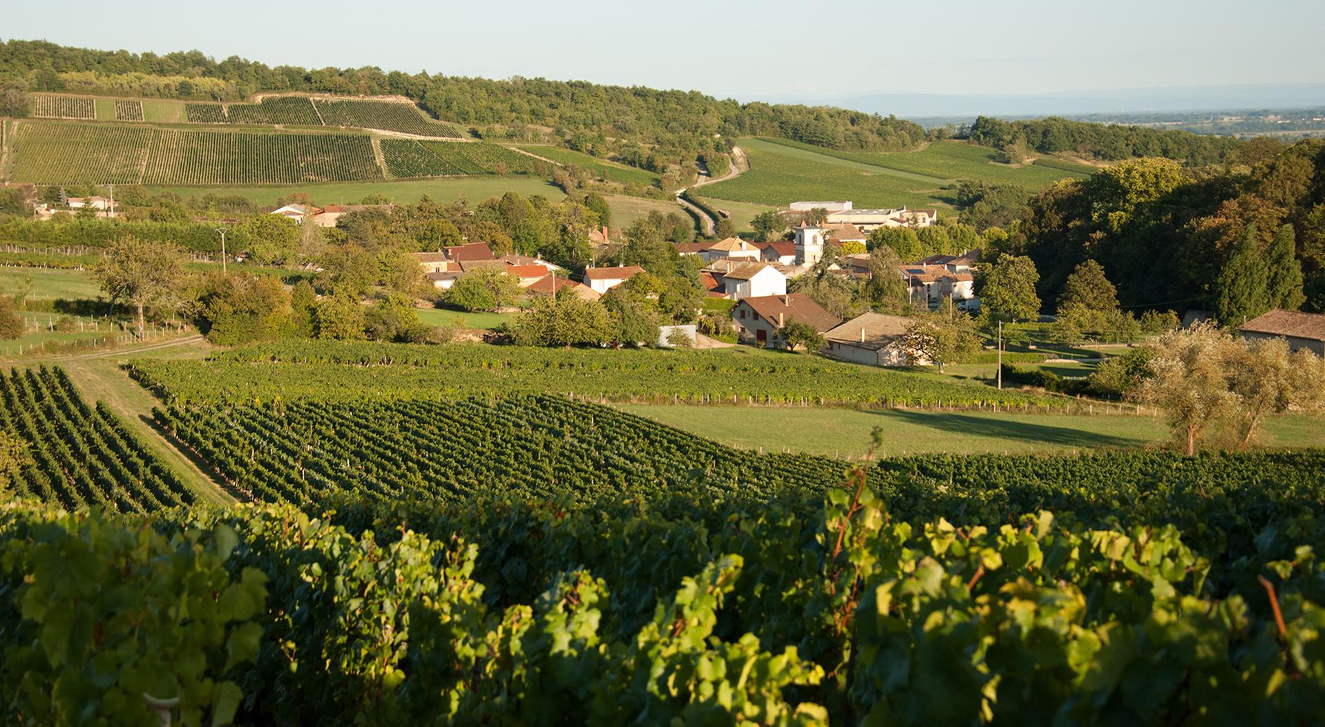 cadoles-chardonnay-vignes-s1